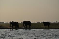 Olifanten bij zonsondergang
