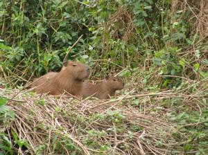 De capibara is niet echt moeders mooiste.