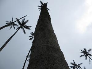 De waspalm kan gemakkelijk 50 of 60 meter hoog worden